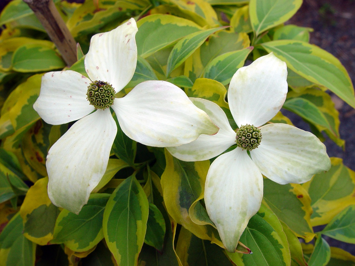 Cornus kousa 'Summer Gold' Photo Courtesy of Plant Haven