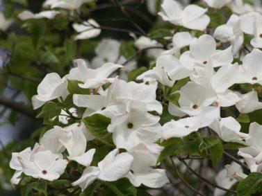 Cornus nuttallii 'Eddie's White Wonder' Photo Courtesy of Great Plant Picks