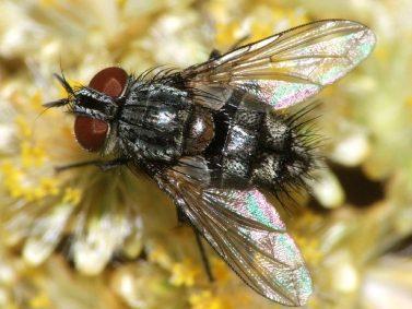 Tachinid Fly Photo Courtesy of Gread Garden Info
