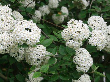 Fragrant Snowball Viburnum (Viburnum carlcephalum) Photo Courtesy of The Paintbox Garden