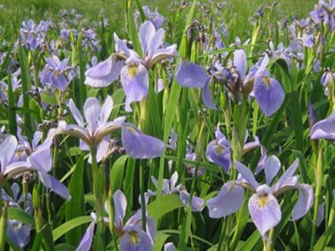 Blue Flag Wild Iris Photo Courtesy of American Meadows