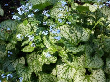 Jack Frost Brunnera (Brunnera macrophylla 'Jack Frost')