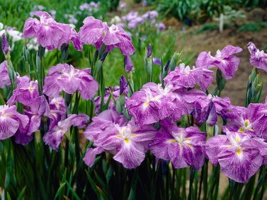 Crystal Halo Japanese Iris Photo Courtesy of American Meadows