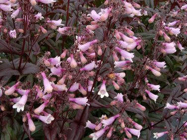 Dark Towers Penstemon (Penstemon 'Dark Towers') Photo Courtesy of Monrovia