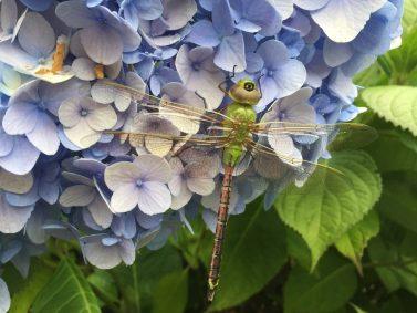 Dragonfly on Hydrangea