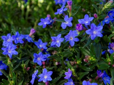 Grace Ward Lithodora (Lithodora diffusa 'Grace Ward') Photo Courtesy of Monrovia