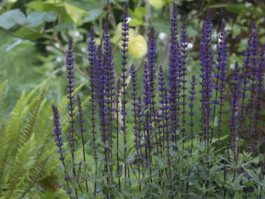 Purple Wood Sage (Saliva nemerosa 'Caradonna') Photo Courtesy of Great Plant Picks
