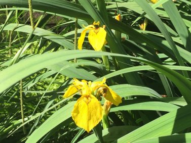 Yellow Flag Wild Iris