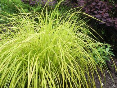 Bowles Golden Sedge (Carex elata 'Bowles Golden')