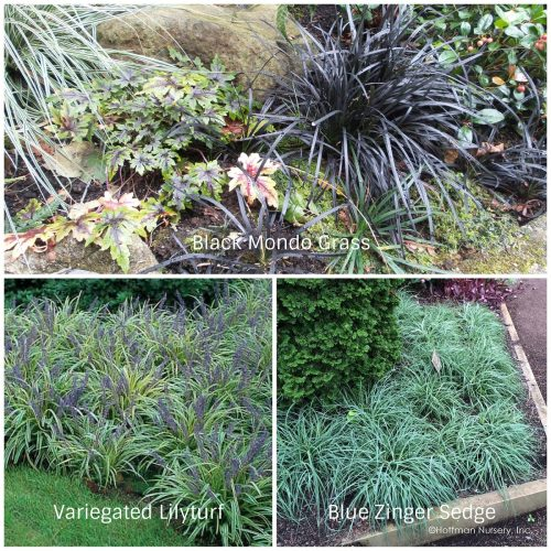 Groundcover Grasses (Photos Courtesy of Hoffman Nursery and White Flower Farm)
