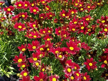 Lil Bang Red Elf Tickseed (Coreopsis x 'Red Elf')