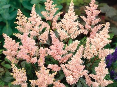 Peach Blossom Asilbe (Astilbe x rosea 'Peach Blossom') Photo Courtesy of Dobbies Garden Centre