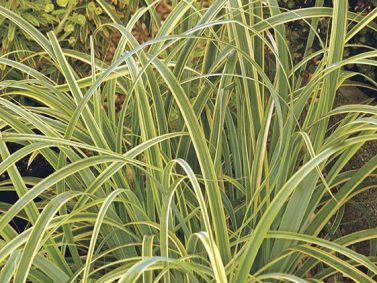 Rekohu Sunrise Sedge (Carex trifida 'Rekohu Sunrise') Photo Courtesy of Monrovia