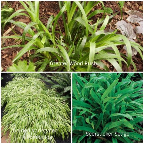 Shade Grasses (Photos Courtesy Dave's Garden and Fine Gardening)