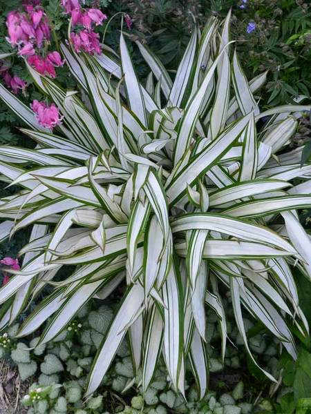 Snow Cap Sedge (Carex siderostricha 'Snow Cap') Photo Courtesy of Bluestone Perennials