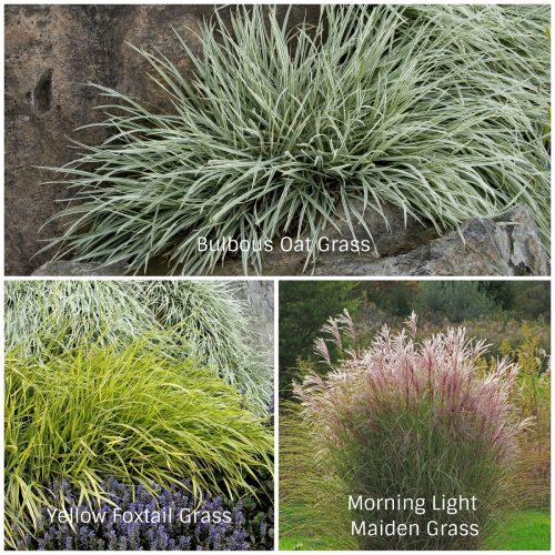 Sun Grasses (Photos Courtesy of Monrovia and Olgelsby Plants International)