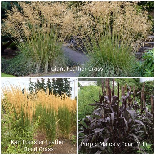 Tall Grasses (Photos Courtesy of Botanic Garden Photography and Fine Gardening)