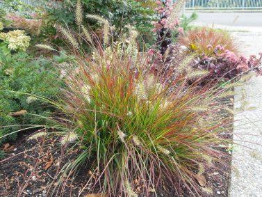 Burgundy Bunny Fountain Grass (Pennisetum alopecuroides 'Burgundy Bunny')