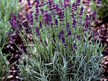 Hidcote Superior English Lavender (Lavandula angustifolia 'Hidcote Superior') Photo Courtesy of Monrovia