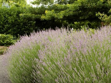 Provence French Lavender (Lavandula x intermedia 'Provence') Photo Courtesy of Monrovia