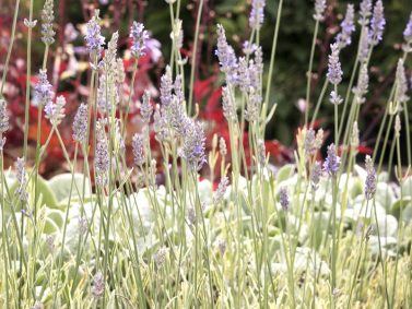 Silver Edged Variegated Lavender (Lavandula angustifolia 'Walvera') Photo Courtesy of Monrovia