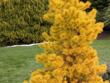 Chief Joseph Lodgepole Pine Pinus Contorta Photo Courtesy Of Great Plant Picks