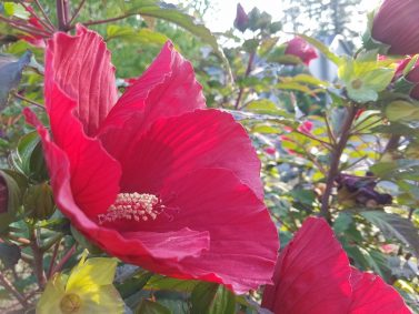 Plant Of The Month Hibiscus Sublime Garden Design Landscape