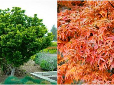 Shishigashira Japanese Maple (Acer palmatum 'Shishigashira')