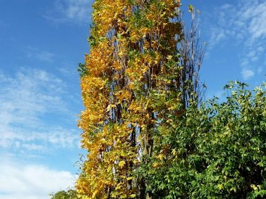 Upright Golden Rain Tree (Koelreuteria paniculata 'Fastigiata') Photo Courtesy of Van den Berk Nurseries