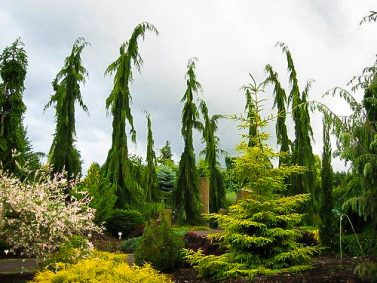 Weeping Alaskan False Cypress (Chamaecyparis nootkatensis 'Green Arrow') Photo Courtesy of The Tree Center