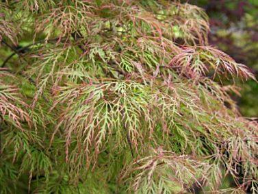 Baldsmith Japanese Maple (Acer palmatum 'Baldsmith') Photo Courtesy of Garden World