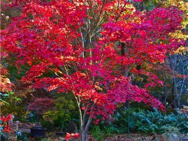 Fireglow Japanese Maple (Acer palmatum 'Fireglow') Photo Courtesy of Fine Gardening