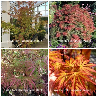 Japanese Maple Collage