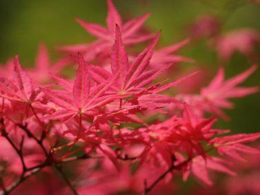 Shindeshojo Japanese Maple (Acer palmatum 'Shindeshojo') Photo Coutesy of Great Plant Picks