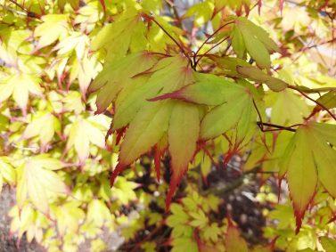 Tsuma Gaki Japanese Maple (Acer palmatum 'Tsuma Gaki')
