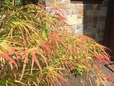 Villa Taranto Japanese Maple (Acer palmatum 'Villa Taranto')