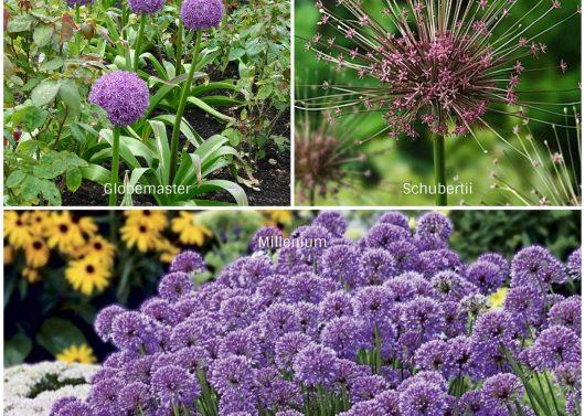 Allium Varieties