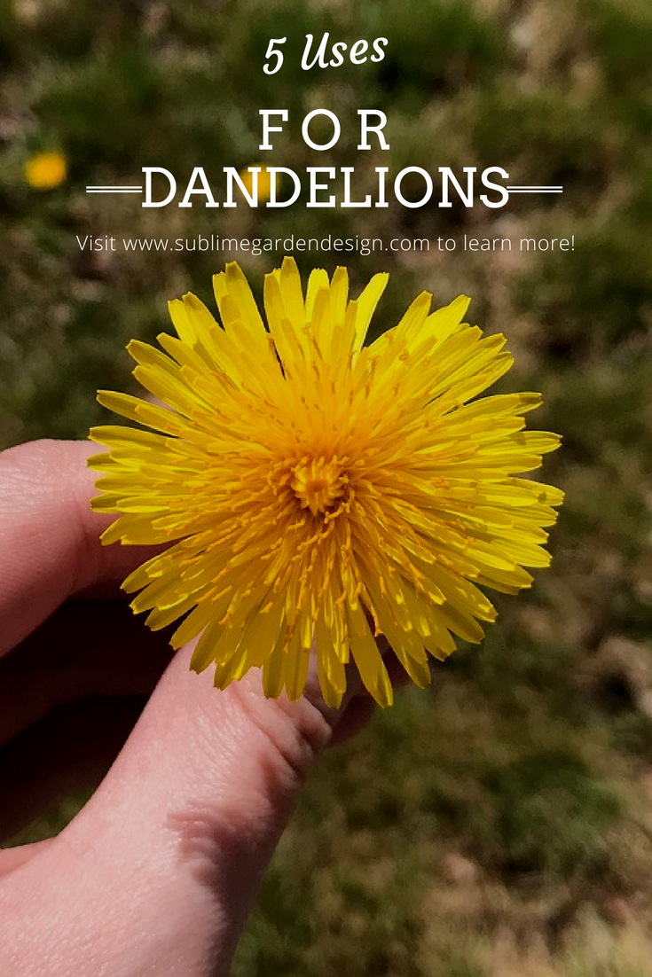 5 Uses for Dandelions
