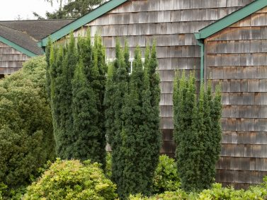 Hicks Yew (Taxus x media 'Hicksii') Photo Courtesy of Monrovia