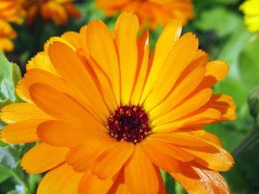 Pot Marigold (Calendula) Photo Courtesy of Gardener's Path