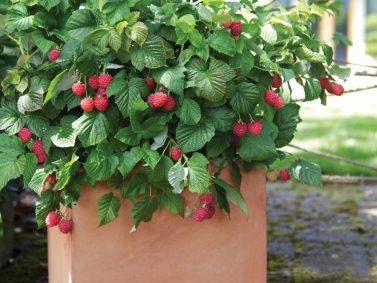 Raspberry Shortcake Raspberry (Rubus idaeus `Raspberry Shortcake`) Photo Courtesy of Monrovia