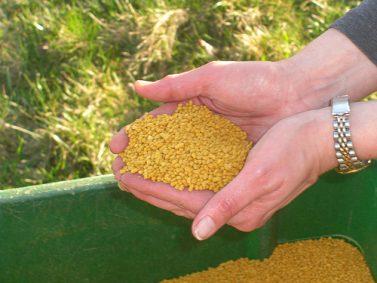 Corn Gluten Photo Courtesy of Green Talk