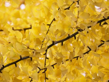 Autumn Gold Maidenhair Tree (Ginkgo biloba 'Autumn Gold') Photo Courtesy of Monrovia