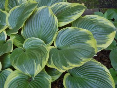 Hosta x 'Christmas Tree'