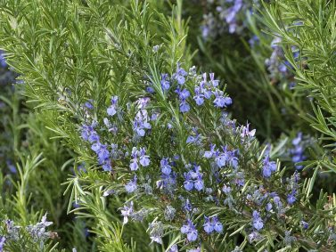 Tuscan Blue Rosemary (Rosmarinus officinalis 'Tuscan') Photo Courtesy of Monrovia