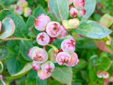 Peach Sorbet Blueberry (Vaccinium x 'Peach Sorbet')