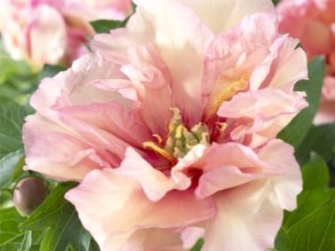 Itoh Hybird Peony (Paeonia x Itoh 'Canary Brilliants')