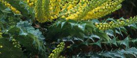 Winter Sun Hybrid Mahonia (Mahonia x media 'Winter Sun') Photo Courtesy of Great Plant Picks