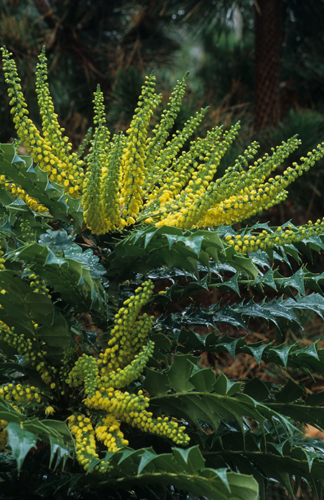 Winter Sun Hybrid Mahonia (Mahonia x media 'Winter Sun') Photo Courtesy of Great Plant Picks