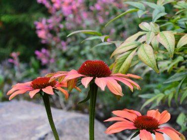 Echinacea hybrida 'Cheyenne Spirit'